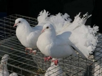 В Тамбове пройдет выставка голубей