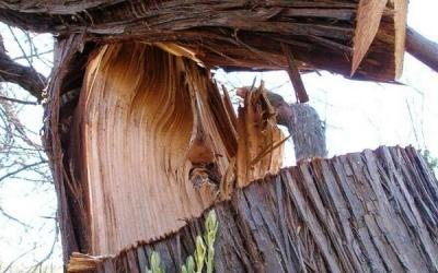 В Сосновском районе на лесоруба упало дерево